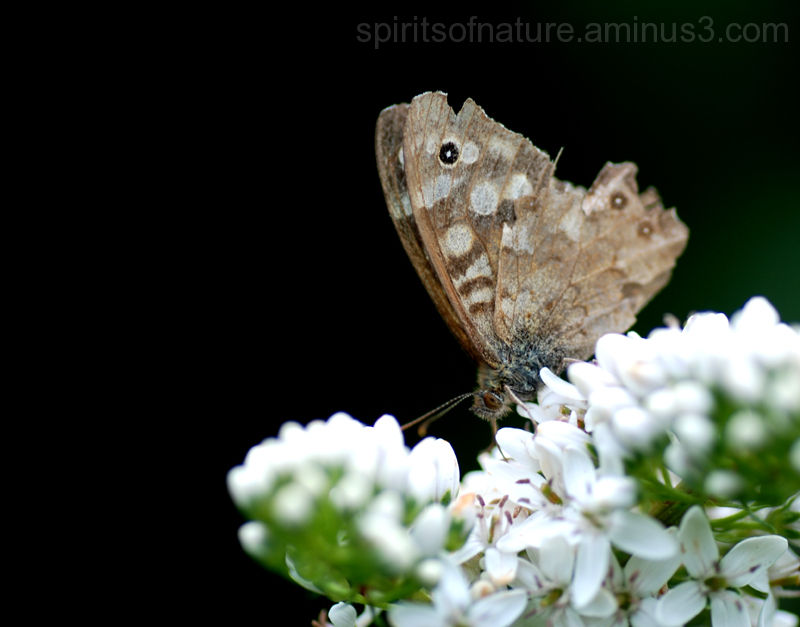 "Speckled wood ""Pararge Aegeria"""