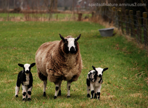 Mother and children (sheep 2)