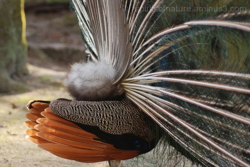 Peacock (6)