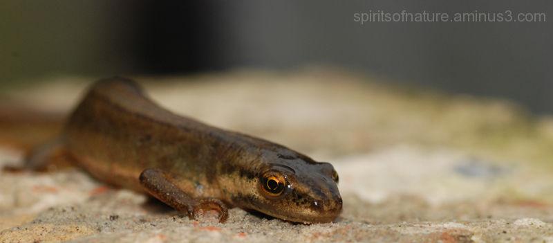 Salamander (2)