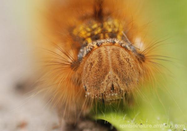 Caterpillar of the big fox (1)