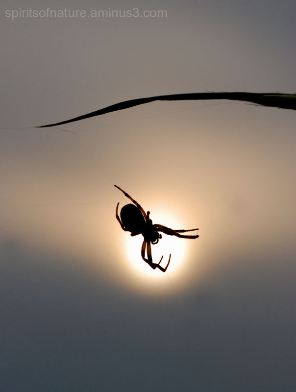 Silhouet of a spider