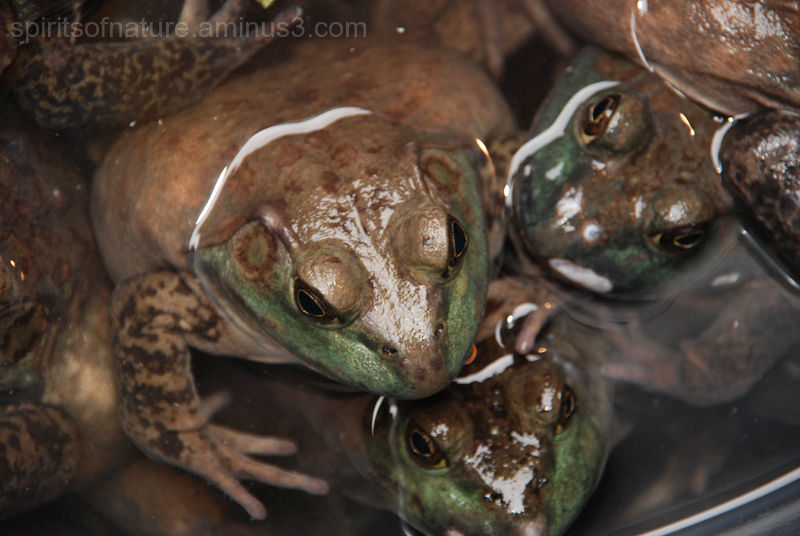 Frogs in Chinatown (New York 6)
