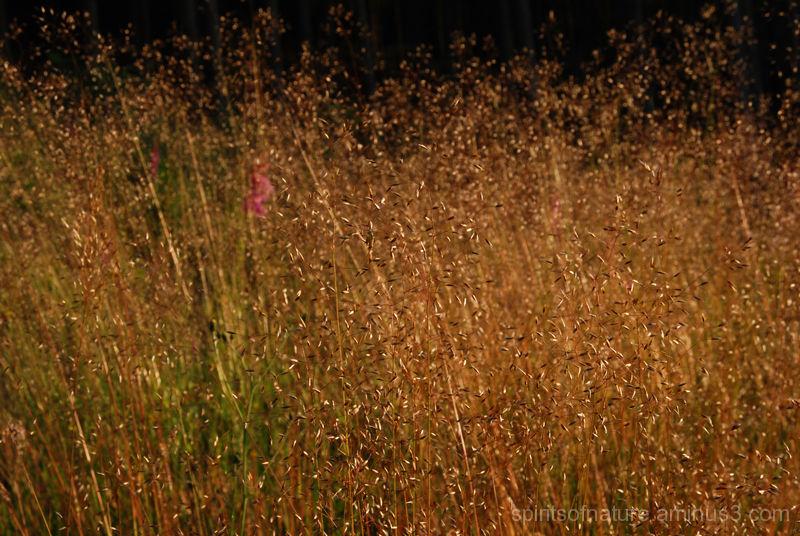 Golden grass.... Houfalize (9)