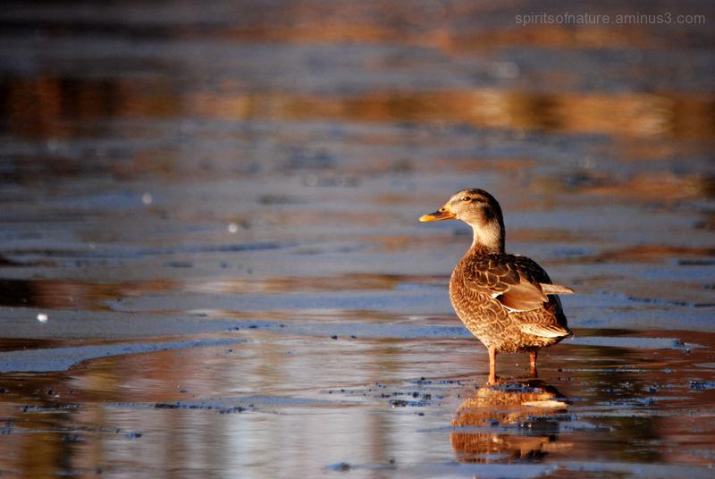 Golden glow on a duck ...