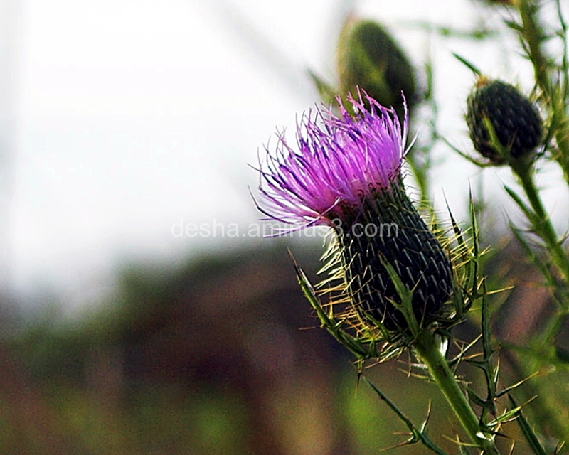 Thorny Pink Thistle