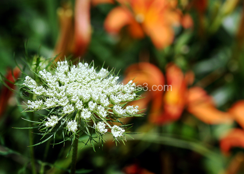 weed, white, delicate, bokeh