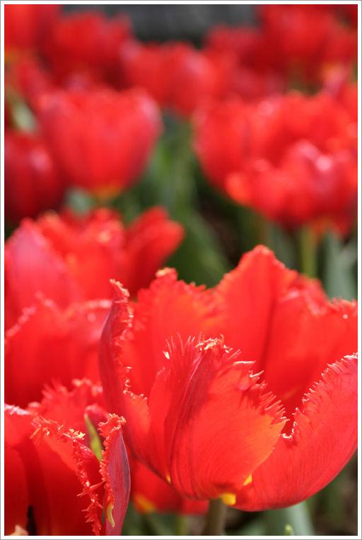 Tulipes rouge, Jardin Botanique de Montréal