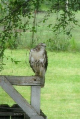 Hawk comes down to have a closer look!