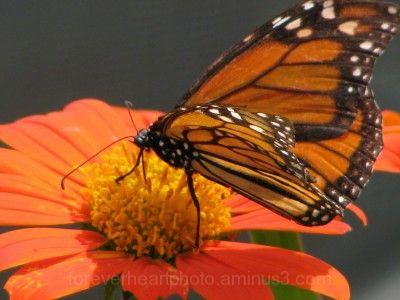Powell Gardens Butterfly Festival