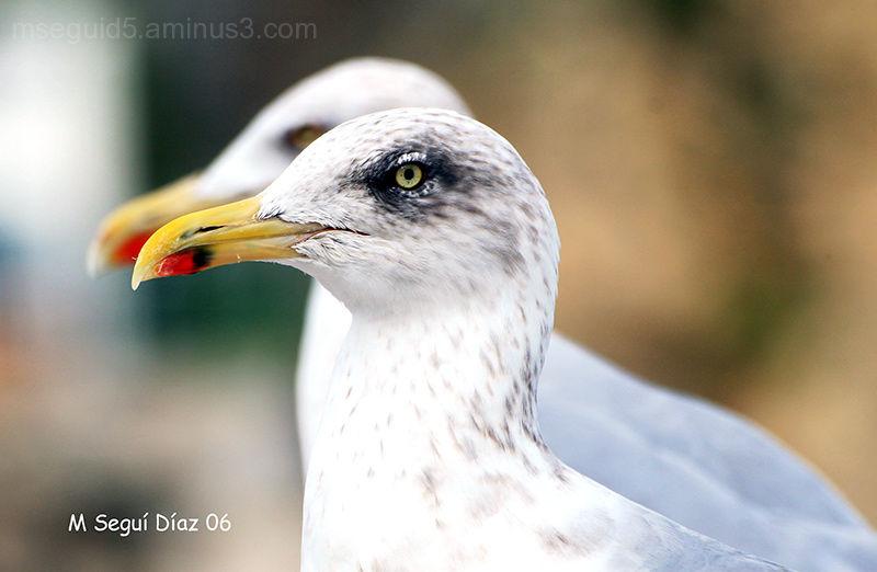 Aves, gaviotas