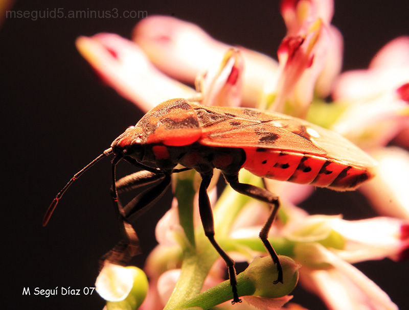 Chinches, insectos
