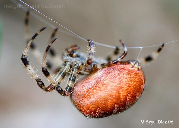 arañas,
