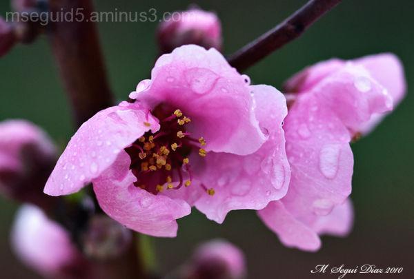 Flor de almendro tras la lluvia