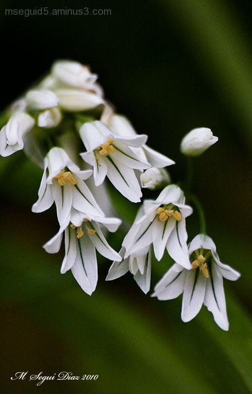 Allassa blanca -allium triquetrum