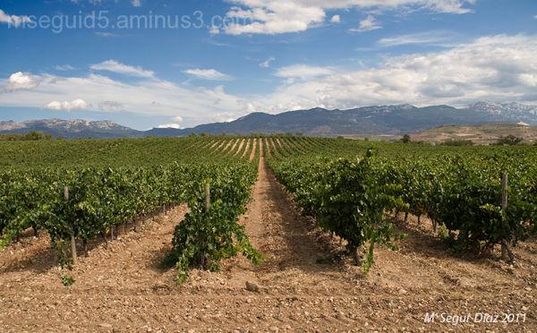 Tiempo de vendimia  -Campo de la Rioja-España.