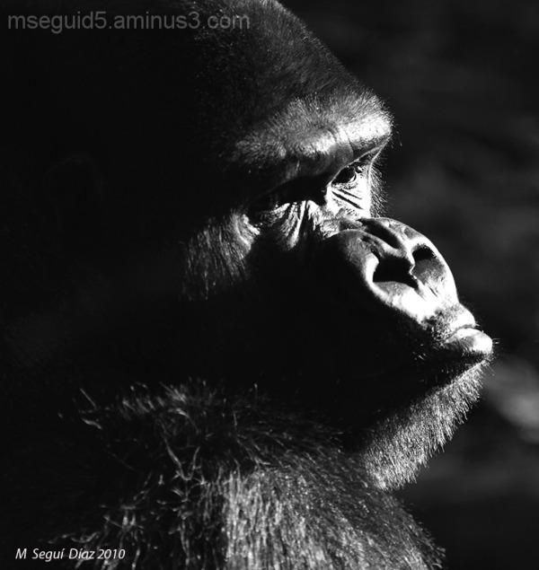 Gorila en blanco y negro