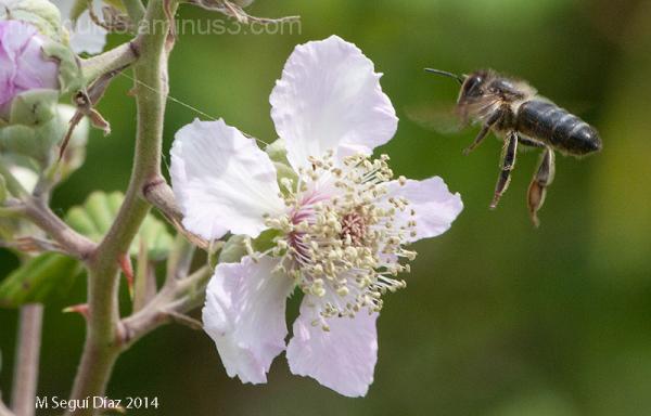 Flor de zarzamora con abeja