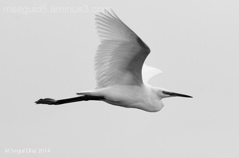 Garceta común (egretta garcetta) volando
