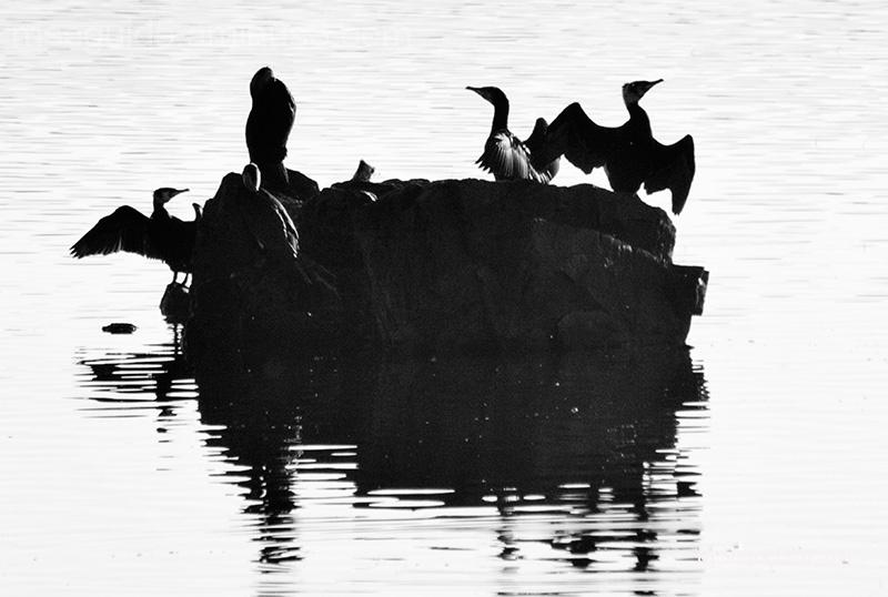 Silueta de cormoranes