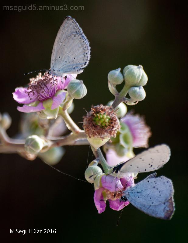Composición de licenidos sobre flores de zarzamora