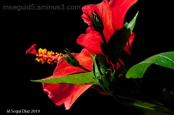 Hibiscus rojo - claro-oscuro