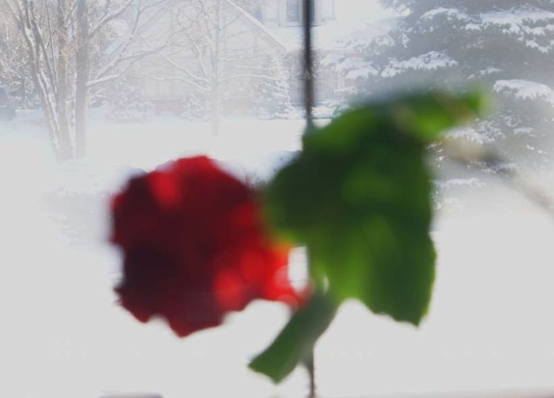 chinese rose in the winter