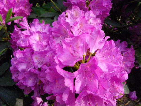 Rododendron Blüten 5