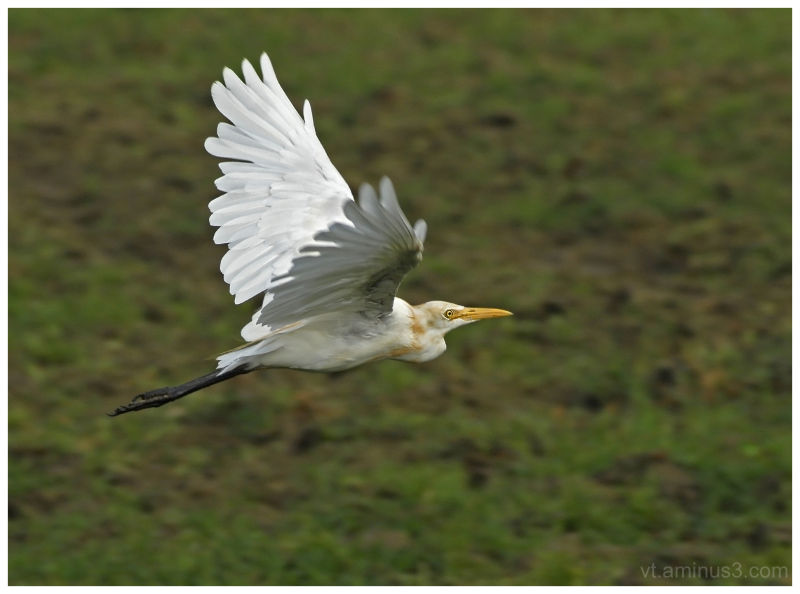 Cattle Egret in flight, Etawah, India