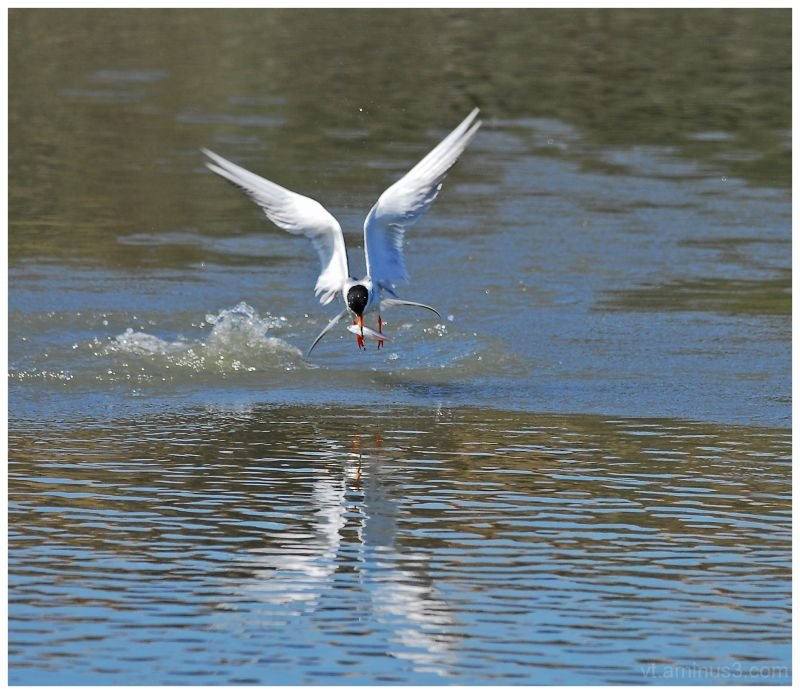 Forster's Tern with breakfast, Palo Alto, CA