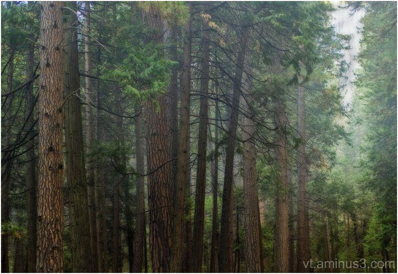 Misty woods, Yosemite, CA