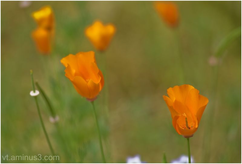 Delicate Poppies flowering at Stanford University