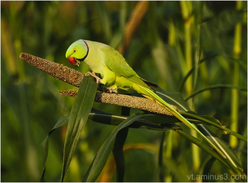 Rose ringed parakeet (male) feeding early morning