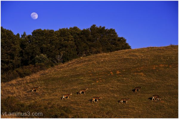 Wild Deer under Moon Rise, Montebello OP, CA