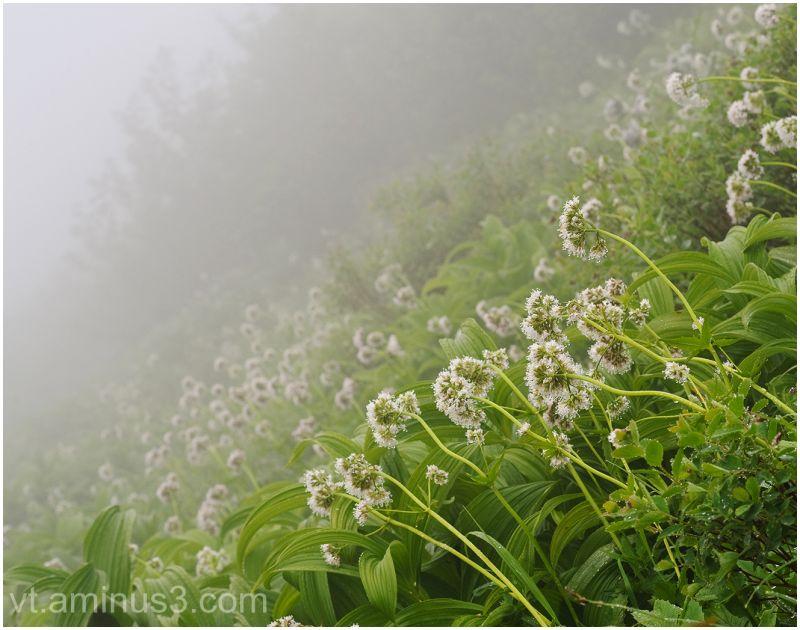 Wild Valerians in fog, North Cascades NP, WA