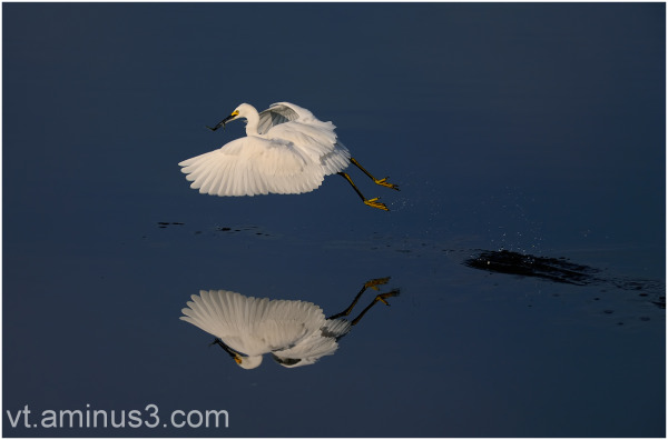 Snowy Egret's morning catch, SF Bay, CA