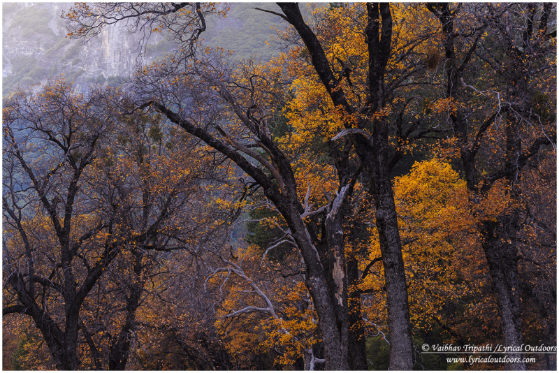 Black Oaks in Autumn, Yosemite National Park, CA
