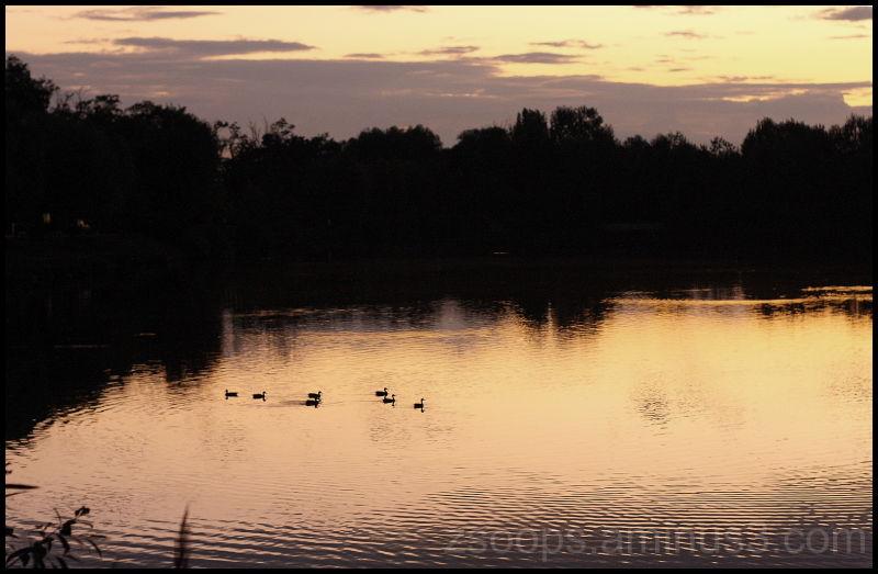 Little ducks on a small lake at Csomor.