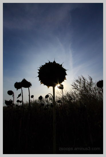 Sunflowers with their back to the Sun.