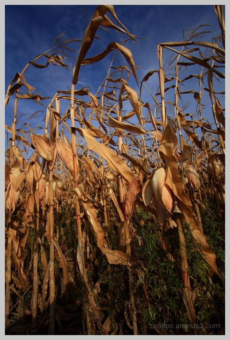 Corn field in Szaniszlo.