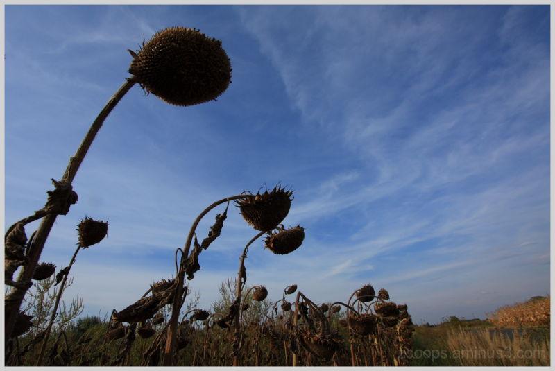 Curious sunflowers of Szaniszlo. :)