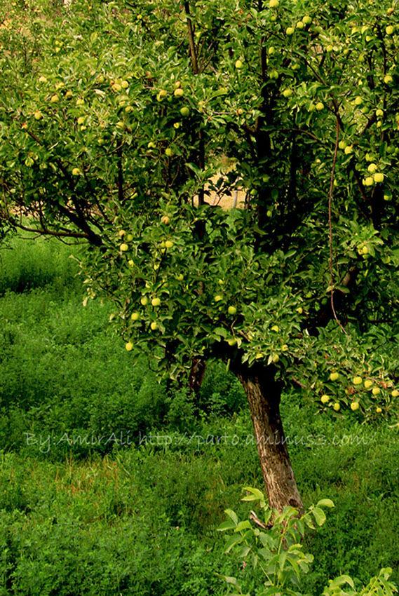 nature plant fruit apple