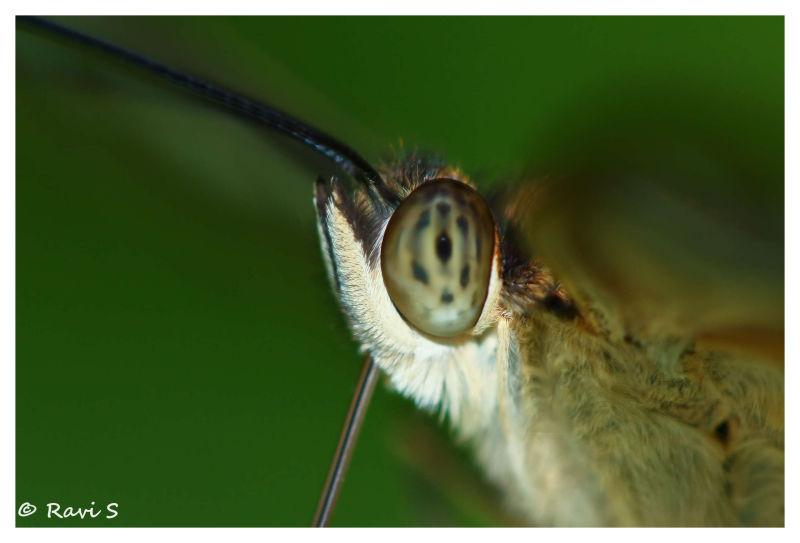 Butter eyes