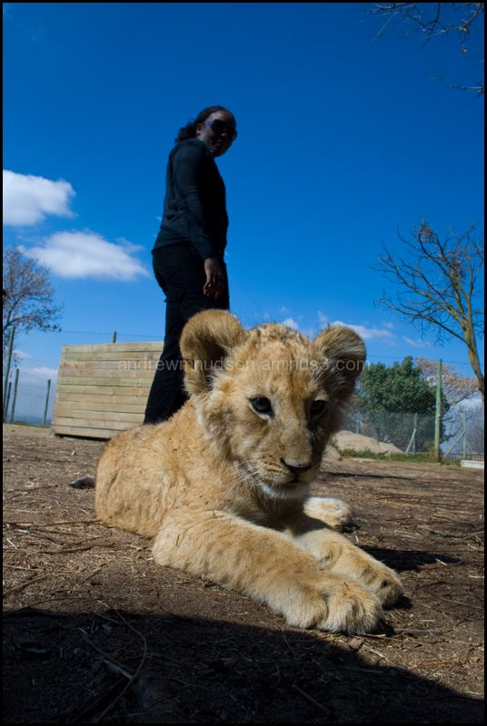 A lion cub with Diana in the background