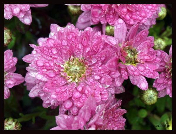 Pink chrysanthem