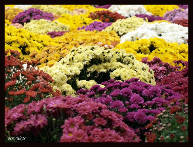 Chrysanthemum land