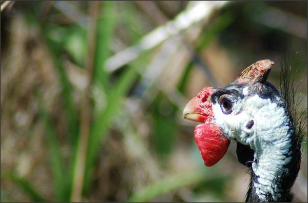 The proud turkey