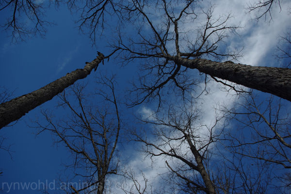Trees reaching for the sky