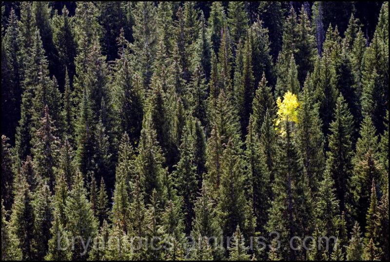 Yellow aspen tree amid pines