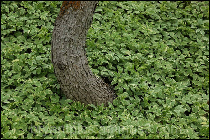 Bent tree trunk amid ivy leaves